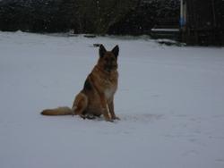 Briscka, chien Berger allemand