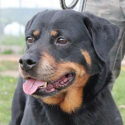 Briska, chien Rottweiler
