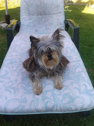 Briska, chien Yorkshire Terrier