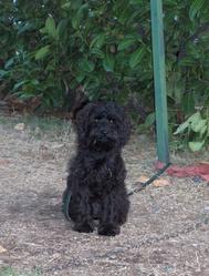 Briska, chien Caniche