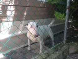 Briska, chien Bull Terrier
