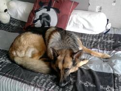 Briska, chien Berger allemand