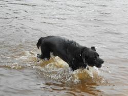Briska, chien Labrador Retriever