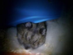 Britanie, rongeur Hamster