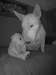 Brittany, chien Bull Terrier