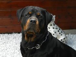 Brizen, chien Rottweiler