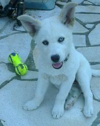 Brocken, chien Husky sibérien
