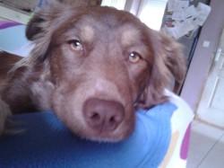 Brogny, chien Border Collie