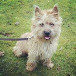 Brooklyn, chien Cairn Terrier