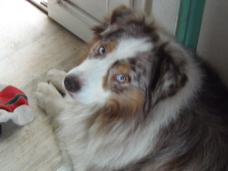Brooklyn, chien Berger australien