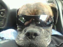 Brooklyn, chien Boxer