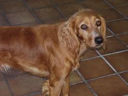 Brooklyn, chien Épagneul breton