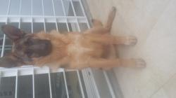 Broots, chien Berger allemand