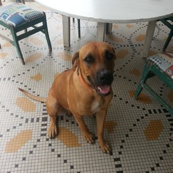Brown, chien Rhodesian Ridgeback