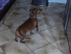 Brownie, chien Teckel