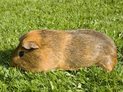 Brownie, rongeur Cochon d'Inde