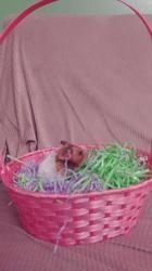 Brownie - Décédée, rongeur Hamster