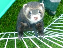 Brownie, rongeur Furet