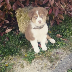 Brownie, chien Berger australien