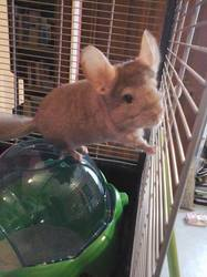 Brownie, rongeur Chinchilla