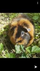 Brownie, rongeur Hamster