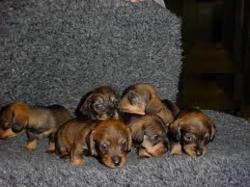 Brownie's, chien Teckel