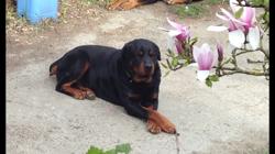 Brox, chien Rottweiler