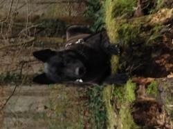 Bruce, chien Berger hollandais