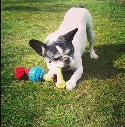 Bruce, chien Bouledogue français