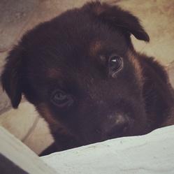 Bruce, chien Berger allemand