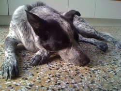 Bruce, chien Bouvier d'Australie