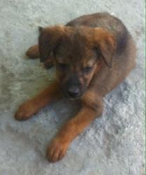 Bruce, chien Rottweiler