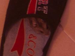 Brume, rongeur Hamster