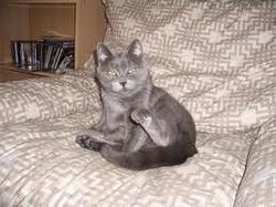 Brune, chat Chartreux