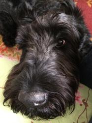Bruni, chien Schnauzer