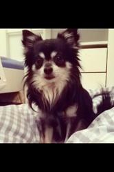 Brutus, chien Chihuahua