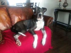 Brutus, chien Dogue allemand