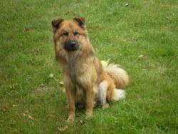 Brutus, chien Eurasier