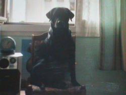Brutus, chien Labrador Retriever