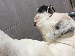 Brutus , chien Dogue argentin