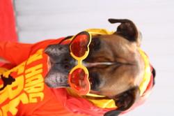 Brutus, chien Boxer
