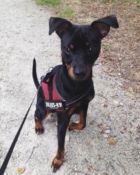 Brutus, chien Pinscher