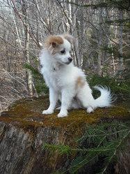 Brutus, chien Bichon maltais