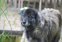 Bruxa De Borosi, chien Chien de montagne portugais