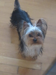 Bubba, chien Yorkshire Terrier