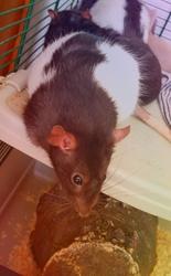 Bubble, rongeur Rat