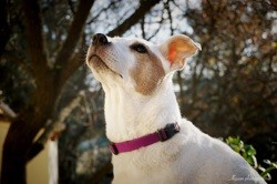 Bubble, chien Jack Russell Terrier