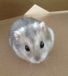 Bubulle, rongeur Hamster