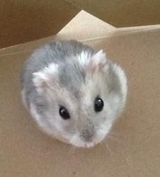 Bubulle, rongeur Hamster