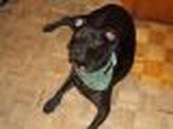 Buck, chien Bull Terrier